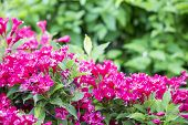 Blossoming Red Bush. Red Rhododendron Bush In The Garden poster