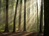 picture of revelation  - misty forest photographed in the morning early autumn. sun rays crossing the picture.