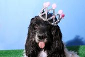 Cocker Spaniel Dog wears a Princess or Queen Crown. Dog photo studio portrait.  poster