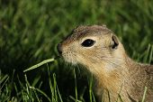 picture of gopher  - A gopher eating grass in Fish Creek Park in Calgary - JPG