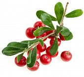 stock photo of bearberry  - Bearberry  - JPG