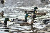 Natural Background: A Lot Of Ducks And Drakes Swim On The Water, Wintering Waterfowl poster
