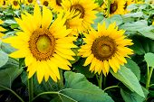 The Garden Of Sunflower With Pollen And Bright Yellow Leaves.bright Yellow Sunflowers And Sun. Field poster