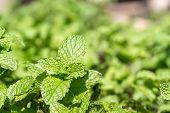 Fresh Peppermint Plant Grown In Vegetable Garden,the Aromatic Leaves Of A Plant Of The Mint Family,  poster