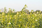 Sesame Seed Flower On Tree In The Field, Sesame A Tall Annual Herbaceous Plant Of Tropical And Subtr poster