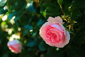 Delicate Pale Pink Roses On Blured Background. Beautiful Pink Rose On The Bushes. Roses In The Sun.  poster