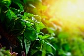 The Growth Of Green Leaves That Use Solar Energy As A Food For Growth. Concept Of Growth poster