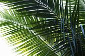 Coconut Palm Tree Leaf Vivid Toned Photo. Coco Leaf Closeup. Abstract Coco Palm Leaf Background. Gre poster