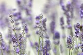 Closeup Of Blue Lavender Flower (latin Name: Lavandula) And Vibrant Green Out Of Focus Background poster