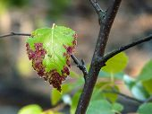 Branch With Ill Leaf Of Apple Scab Disease, Bacterial Scorch On Apple Tree. Illness Of Garden Tree,  poster
