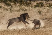 Lion fighting in Kgalagadi