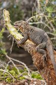 Galapagos Land Iguana by eating plant on North Seymour Island Galapagos Islands. Amazing animals and poster