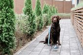 Purebred brown labrador with decorative handmade collar and leash sitting by wooden fence in the rai poster