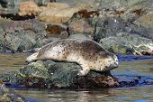 Baby Seal (spotted Seal, Largha Seal, Phoca Largha) Laying On The Sea Stone Near The Blue Water On R poster