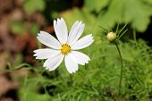 Garden Cosmos Or Cosmos Bipinnatus Or Mexican Aster Half Hardy Annual Plant With Fully Open Blooming poster