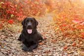 Beautiful Black Labrador Retriever Lies Against An Autumnal Forest. Canine Background poster