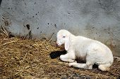 stock photo of feedlot  - white sheep in a cowshed concept of captivity - JPG