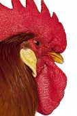 image of leghorn  - Close up of Rooster Leghorn - JPG