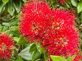 Closeup blossoms of NZ Christmas Tree Pohutukawa