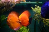 pic of diskus  - The orange Discus fish in the aquarium - JPG