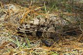 foto of timber rattlesnake  - A timber rattlesnake looking at the photographer - JPG