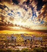 foto of grassland  - Zebras herd on savanna at sunset - JPG