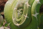 stock photo of green tree python  - a green tree python rolled up on a branch - JPG
