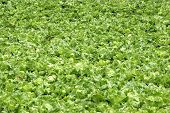 pic of gleaning  - cultivation of lettuce - JPG