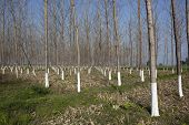 foto of punjabi  - a punjabi landscape with a plantation of young balsam poplar trees with white painted trunks - JPG