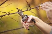 stock photo of cutting trees  - Pruning an fruit tree  - JPG