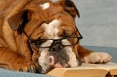 Bulldog Reading A Book
