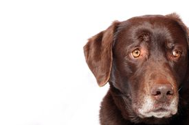 image of gentle giant  - An Adorable Chocolate Lab Looking Worried in Front of a White Background - JPG