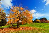 Autumn, fall landscape with a tree full of colorful leaves, sunny blue sky.