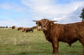 picture of highland-cattle  - Scottish Highland cattle on grass in Jutland - JPG