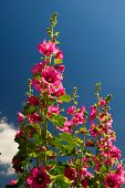 pic of hollyhock  - Pink common Hollyhock flowers in front of a blue sky - JPG