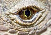 image of komodo dragon  - Komodo dragon prehistoric dinosaur like eye close up - JPG