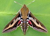 pic of hornworms  - A medium sized Hawk moth with narrow wings - JPG