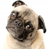 stock photo of pug  - Adorable Fawn Pug Dog Isolated on a White Background - JPG
