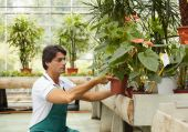 stock photo of flower shop  - male florist arranging plants in flower shop - JPG
