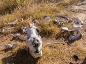 foto of kill  - Skull of single large large rhino or rhinoceros that was likely killed for its horn in poaching attack in Matobo National Park in Zimbabwe in Southern Africa - JPG