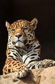 stock photo of predator  - Closeup portrait of jaguar or Panthera onca a predator from Amazon jungle in South America - JPG