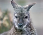 stock photo of wallabies  - Portrait view of a Red - JPG