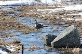 image of snow goose  - Canada Geese standing in a little stream of water caused by a runoff of melted snow and ice - JPG