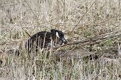 picture of canada goose  - Canada goose sitting on it - JPG