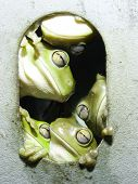 picture of pushy  - Group of frogs - JPG
