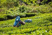 Unidentified Indian woman harvests tea leaves at tea plantation at Munnar. Only the uppermost leaves