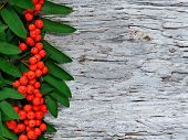 image of rowan berry  - Red rowan berries and green leaves background - JPG