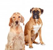 stock photo of english setter  - Two different breed dogs sitting on white background - JPG