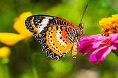 image of zinnias  - Close up of male leopard lacewing  - JPG