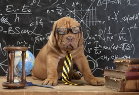 picture of bordeaux  - Young cute dog in front of blackboard during a math class - JPG